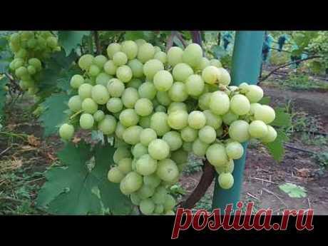 Как спасти виноград от оидиума если ягода уже созрела .