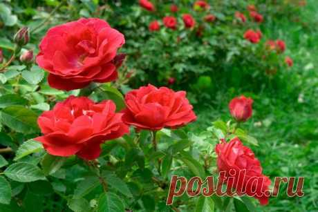 Распространенные ошибки при выращивании роз…Оказывается я многое делала неправильно. — Мир Растений