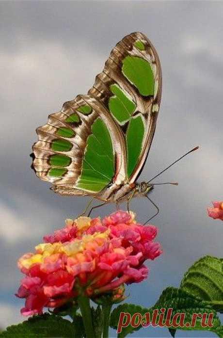 Malachite Butterfly (Siproeta stelenes