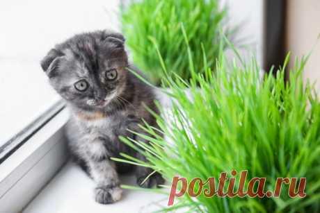 Огород на подоконнике для котиков - prosad.ru всё про сад и огород Огород на подоконнике для котиков Какую траву необходимо выращивать для кошек, чтобы они получали необходимые микроэлементы и не портили комнатные растения. Поможем питомцу вырасти здоровым.