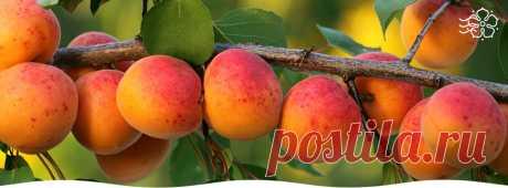 Как ухаживать за северными абрикосами: 7 полезных советов - Садоводам и огородникам