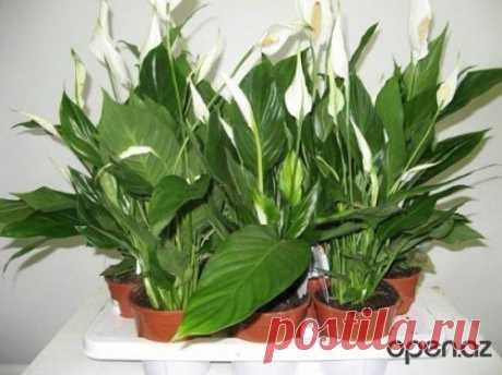 Комнатные растения нужно подкармливать. Советы.