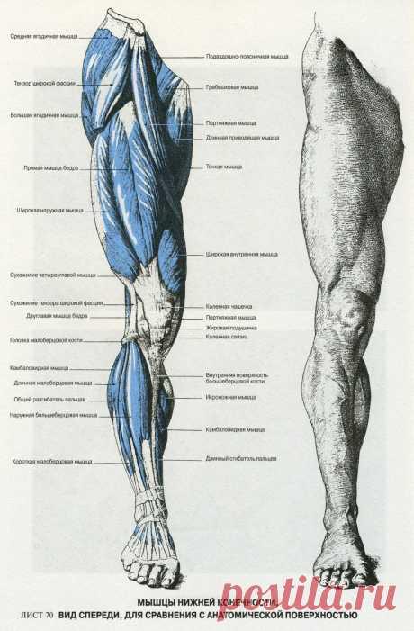 Мышцы ноги. Вид спереди