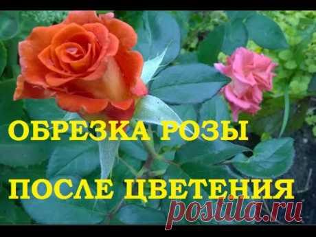 Обрезка розы после цветения. — Огород без хлопот