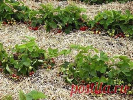 4 лучших удобрения для земляники садовой или клубники, как по старинке  называют эту ягоду некоторые дачники.  1. Куриный помет хорош тем, что содержит высокий процент азота, без  которого ягода не способна произвести крупных, сочных и сладких плодов.  Используется куриный помёт в качестве подкормки в жидком виде.  Стандартный расчёт 1 литр птичьего помёта на 10 литров воды, чтобы не  сжечь растение приготовленный раствор должен простоять около трёх дней.  2. Кисломолочные продукты, нап