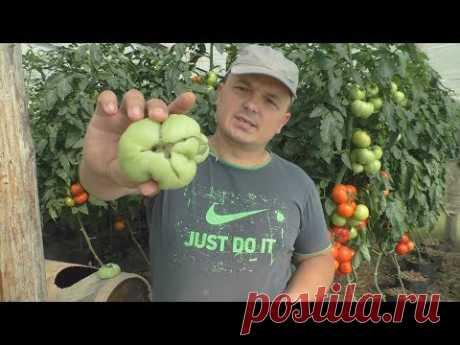 Почему плоды помидоров кривые?