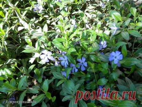 Барвинок для Весов | Астропропаганда | Яндекс Дзен Автор статьи: астролог Нина Стрелкова. Барвинок – типичное растение Весов. Он очень вынослив, у него крепкие стелющиеся стебли, обычно синие, голубые или лиловые цветы, реже розовые и белые. Название цветка переводится как «связывать» или «побеждать», не удивительно, что в магии растение используют, когда надо примирить враждующие стороны, связать заново разорванные отношения или победить врагов...