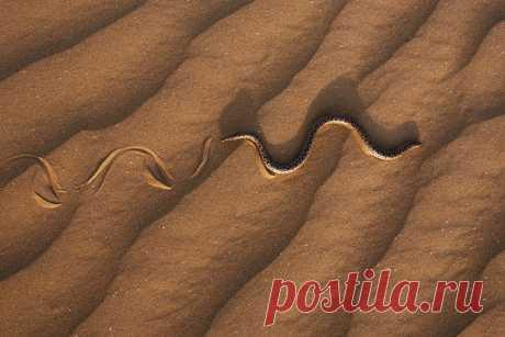 Песчаный удавчик скользит по бархану в астраханской степи. Автор фото – Антон Воронин: nat-geo.ru/photo/user/52549/