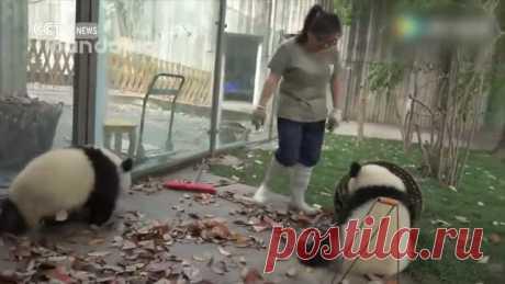 Панды против чистоты — Рамблер/видео