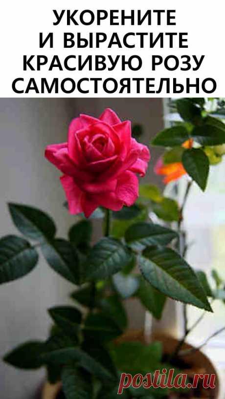 Хотите подарить вторую жизнь букету роз? Научитесь укоренять розы с помощью натуральных удобрений