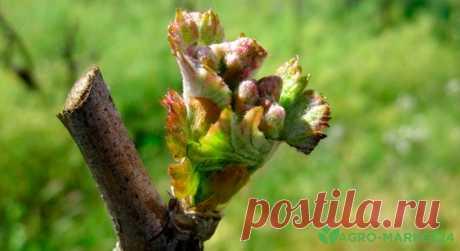 Уход за виноградом весной: весенний уход за виноградом - Agro-Market24