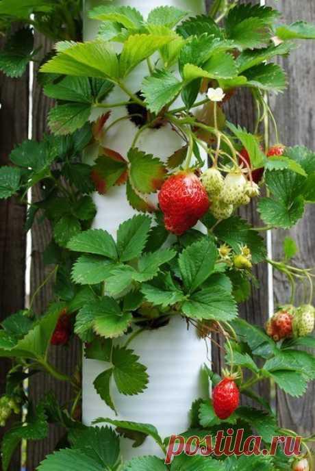 Идея по вертикальному выращиванию клубники