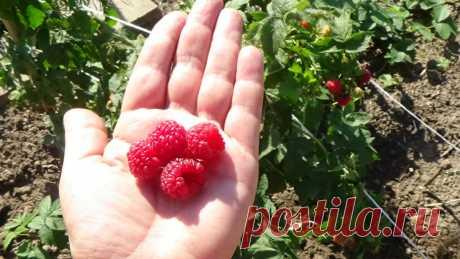 7 секретов для получения отменных урожаем малины | 6 соток
