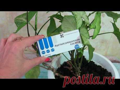 """As """"реанимировать"""" window plants ASPIRIN"""