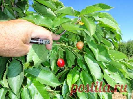 ЧЕМ УДОБРЯТЬ, ОБРАБАТЫВАТЬ И ПОДКАМЛИВАТЬ ВИШНЮ Чем удобрять вишню? «Меню» вишни достаточно разнообразно, так как плодовое отзывчиво на разные группы удобрений, и не только органических. Если на протяжении сезона предпочтение отдается именно им, то осенью подкормка носит завершающий характер. Она должна подпитывать растение, так как с плодами оно отдало большую часть питательных веществ. В этот период лучше использовать более эффективные средства, чем просто органические удобрения. Сюда относя