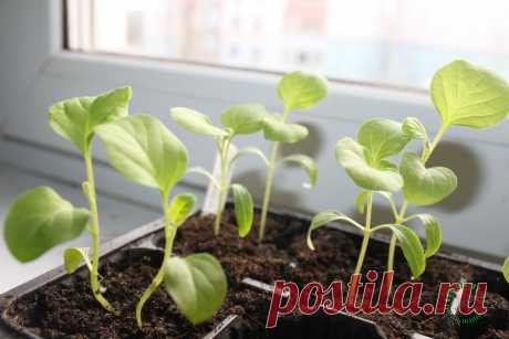 Шпаргалка по выращиванию рассады баклажанов: от посева до высадки в грунт   Огород на подоконнике   Яндекс Дзен