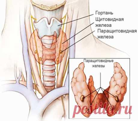 Паращитовидная железа: строение и функции. Паратгормон