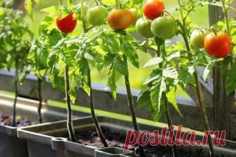 Вместо цветов – томаты (все о выращивании помидоров в контейнерах)