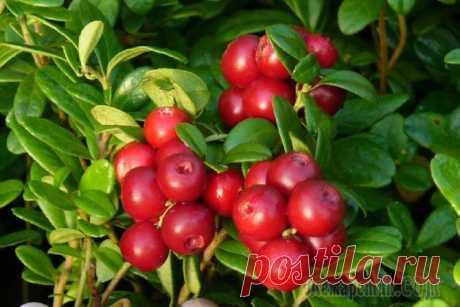 Выращивание клюквы: тонкости посадки и ухода
