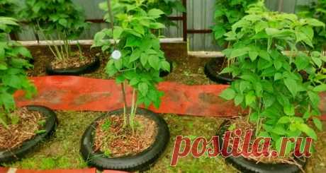 Оригинальный способ выращивания малины: опыт дачника Оригинальный способ выращивания малины в автомобильных покрышках. Плюсы и минусы, установка импровизированных клумб. Уход за посадками на ограниченном пространстве, рекомендованные сорта.