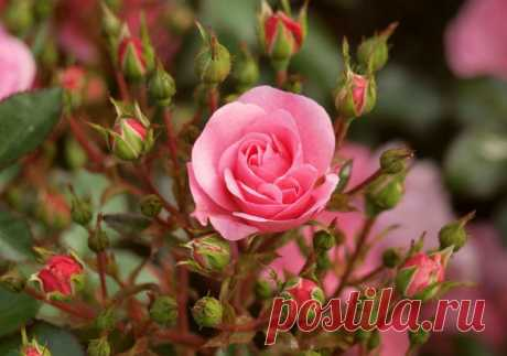 Пять огромных ошибок при выращивании роз…