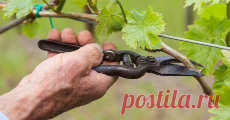 5 типичных ошибок новичков при обрезке винограда    Чтобы виноград на вашем участке хорошо плодоносил, за ним нужно тщательно ухаживать. Одним из самых важных моментов является правильная обрезка винограда.  Лучше учиться не на своих, а на чужих оши…