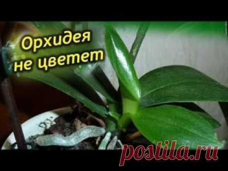 Орхидея не цветет, а листья растут! Как заставить цвести орхидею?