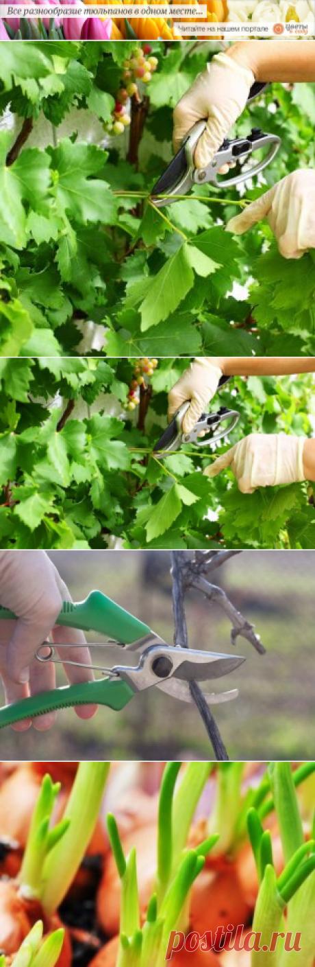 Надо ли обрезать виноград? | Садовод (Усадьба)