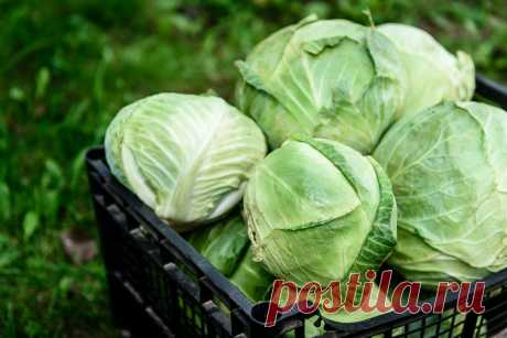 Когда собирать урожай капусты и где хранить? Фото — Ботаничка.ru