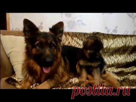 Как отучить щенка грызть вещи | Урок 2 видеокурса «Растем вместе»