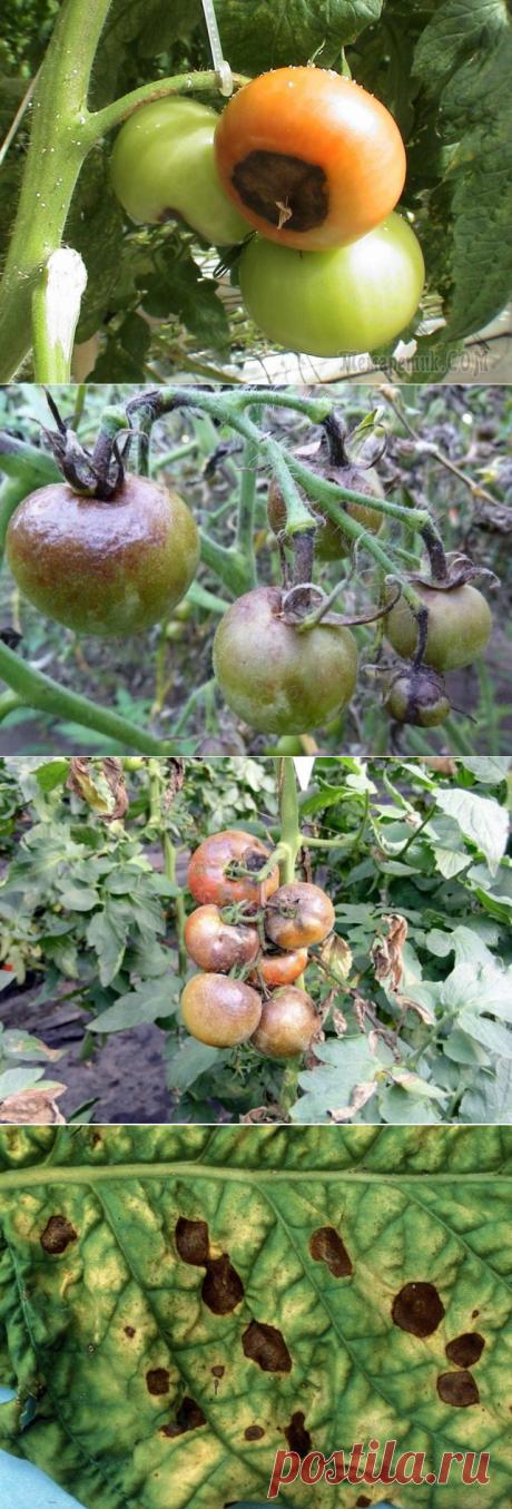 Болезни томатов и как от них избавиться