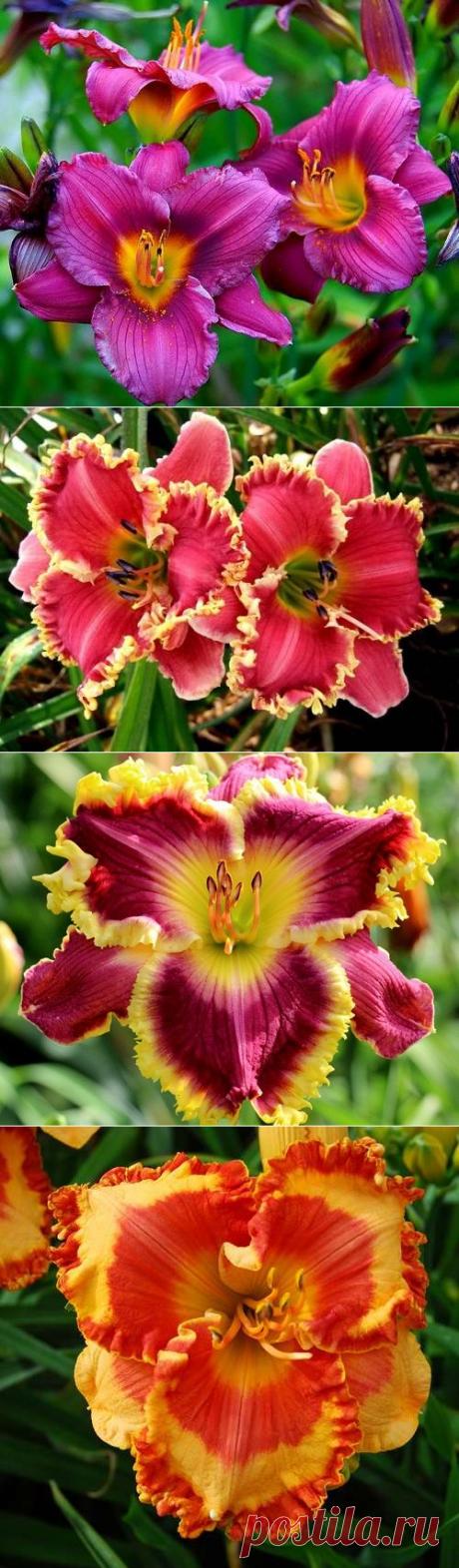 Цветок прекрасного настроения — лилейник