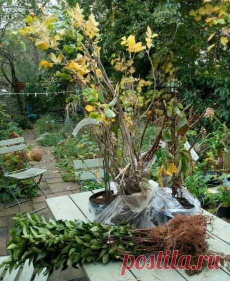 Как правильно посадить малину осенью? | Вики Терра - Сад и огород | Яндекс Дзен
