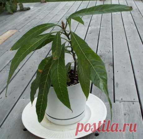 Тропическое дерево в домашних условиях: как вырастить манго из косточки
