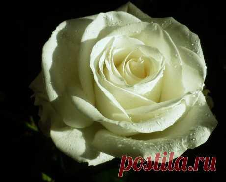 Лёля — «Роза в белом наряде» на Яндекс.Фотках