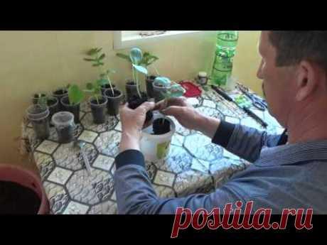 Прививка арбуза на тыкву( лагенария) 2015 год. - YouTube