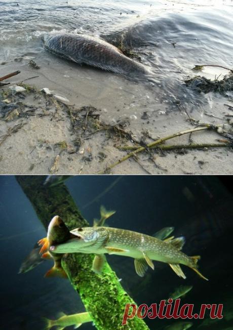 Ловчая мушка по жереху с поплавком сбирулино