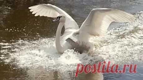 Лесоповал-А белый лебедь на пруду