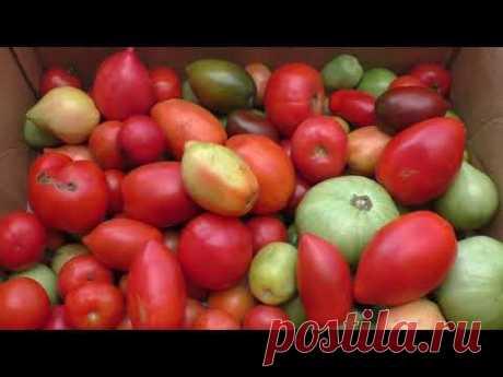 Почему помидоры в основном дозариваю в помещении