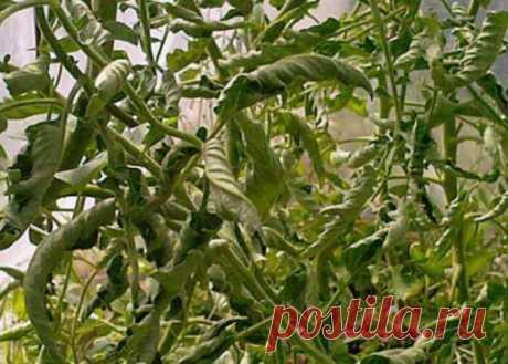 Распространенные болезни рассады томатов, их лечение (Фото)