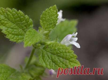 Мелисса – растение богов У меня в саду уже много лет растет мелисса - чудное растение, которое и полезно, и красиво, и имеет изумительный аромат. Вот именно выращиванию мелиссы и посвящена эта статья.  Когда-то давным-давно, …