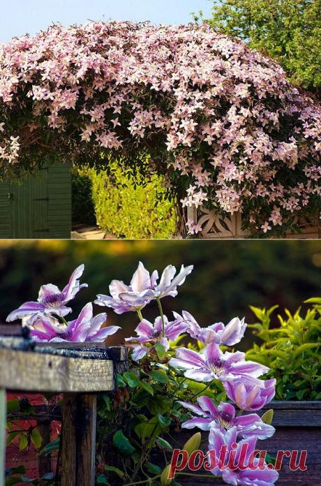 Клематисы в ландшафтном дизайне: роскошное украшение двора