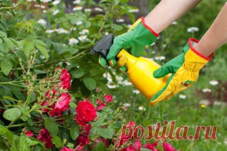 Суперсредства, которые избавят от черных пятен на листьях розы | О Фазенде. Загородная жизнь | Яндекс Дзен