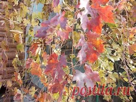 Виноградная лоза ползет по веранде дома