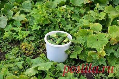 Растворы для урожая огурчиков