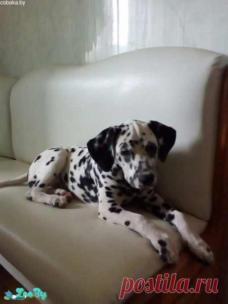 Далматин щенки из Могилев купить в Минске на сайте объявлений