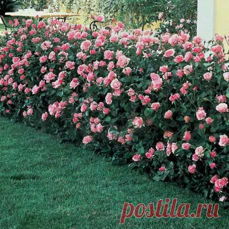 Беспроблемная, зимостойкая роза-дерево. | Загородные идеи | Яндекс Дзен