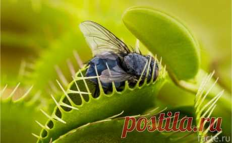 Растения, которые питаются насекомыми и мелкими животными Насекомоядные или плотоядные растения ловят насекомых и мелких животных, чтобы получать питательные вещества поддерживать свою жизнедеятельность. Основной причиной такого «рациона» является бедная почва. Представляем восемь «хищников», которым пришлось адаптироваться, чтобы выжить.      Венерина мухоловка  Венера мухоловка — это