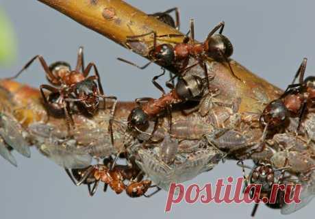 С муравьями борюсь гремучей смесью  С муравьями на своем участке я боролся долго и безуспешно. Но в прошлом году сосед поделился со мной одним средством, с помощью которого он избавился от назойливых гостей.  Рецепт «снадобья» оказался…