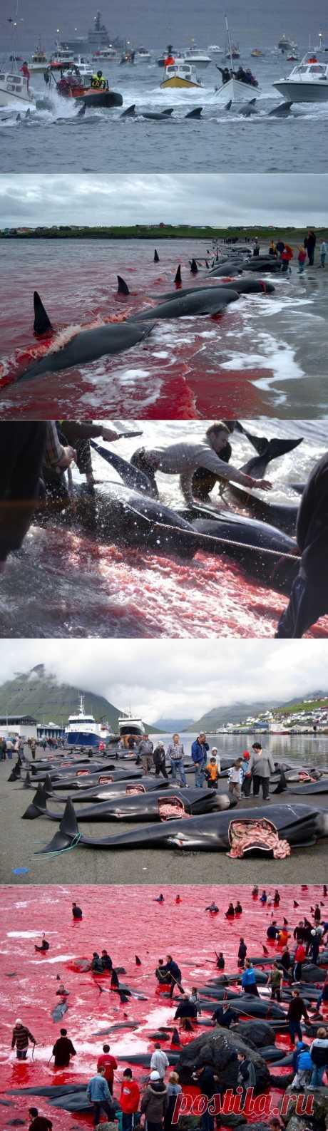 Море крови на Фарерских островах : НОВОСТИ В ФОТОГРАФИЯХ -   Умирающие дельфины оглашают все побережье детским плачем. Они гибнут все - так как не бросают своих сородичей в беде. Кровавые палачи убивают и беременых маток дельфинов, а потом на глазах своих детишек потрошт, вытаскивают и выкидывают уже готовых к жизни дельфинят..... И это цивилизована Европа(((!!!